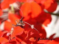 buba-crveno